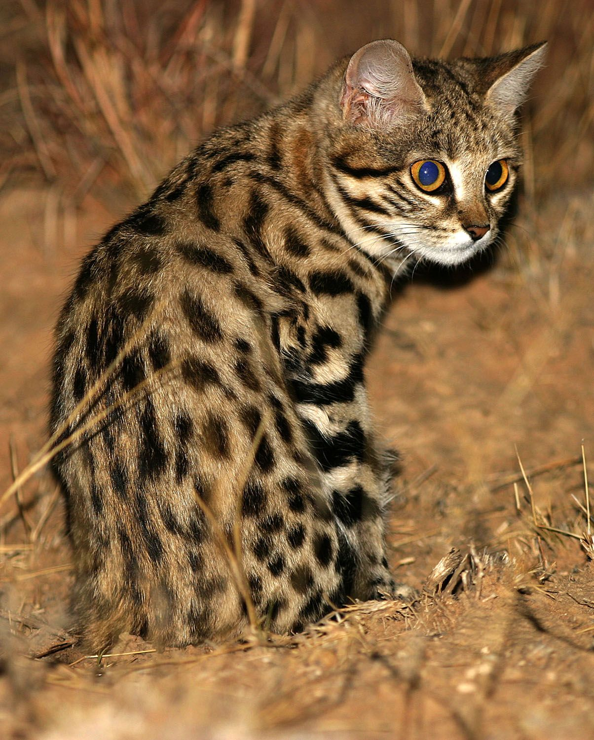 Black Footed Cat Great Cats World Park In 2020 Black Footed Cat Spotted Cat Rusty Spotted Cat