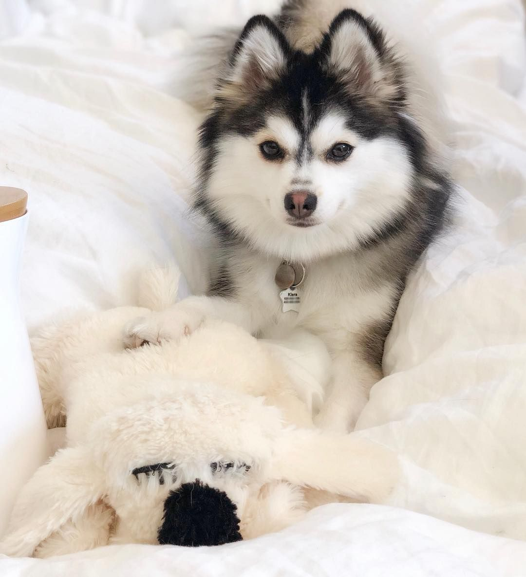 Everything you want to know about Pomsky [Husky+Pomeranian