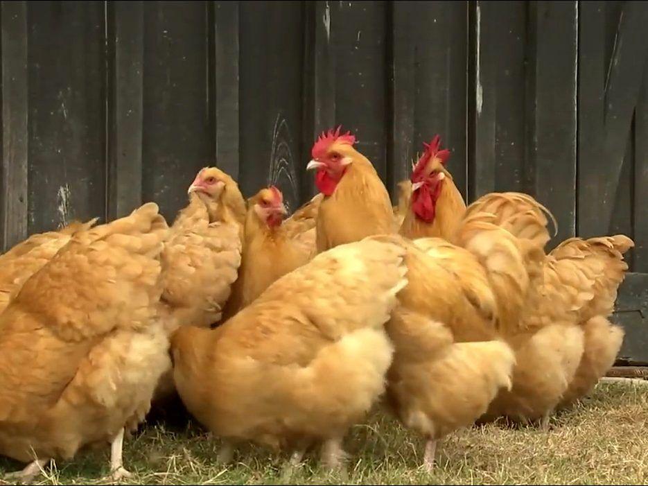 Backyard Chicken Keeping - Backyard Chicken Keeping ...