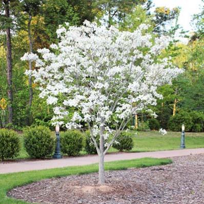 White Dogwood Tree White Flowering Trees Dogwood Trees Flowering Trees