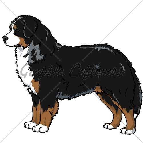 Bernese Mountain Dog Pointed Ears