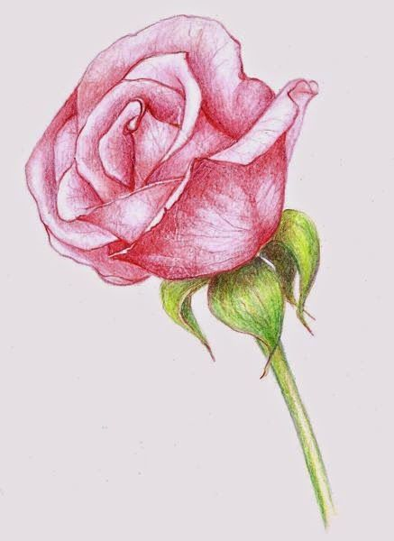 Drawings A Pink Rose Flower Drawing Roses Drawing Realistic Flower Drawing