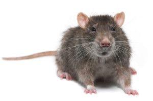 Roof Rats Bigger Threat To Austin Homes Than Termites Rodent Control Rat Control Pest Control