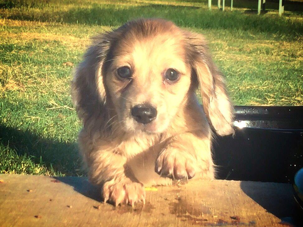 Cream Dapple Miniature Dachshund Dachshund Puppy Miniature