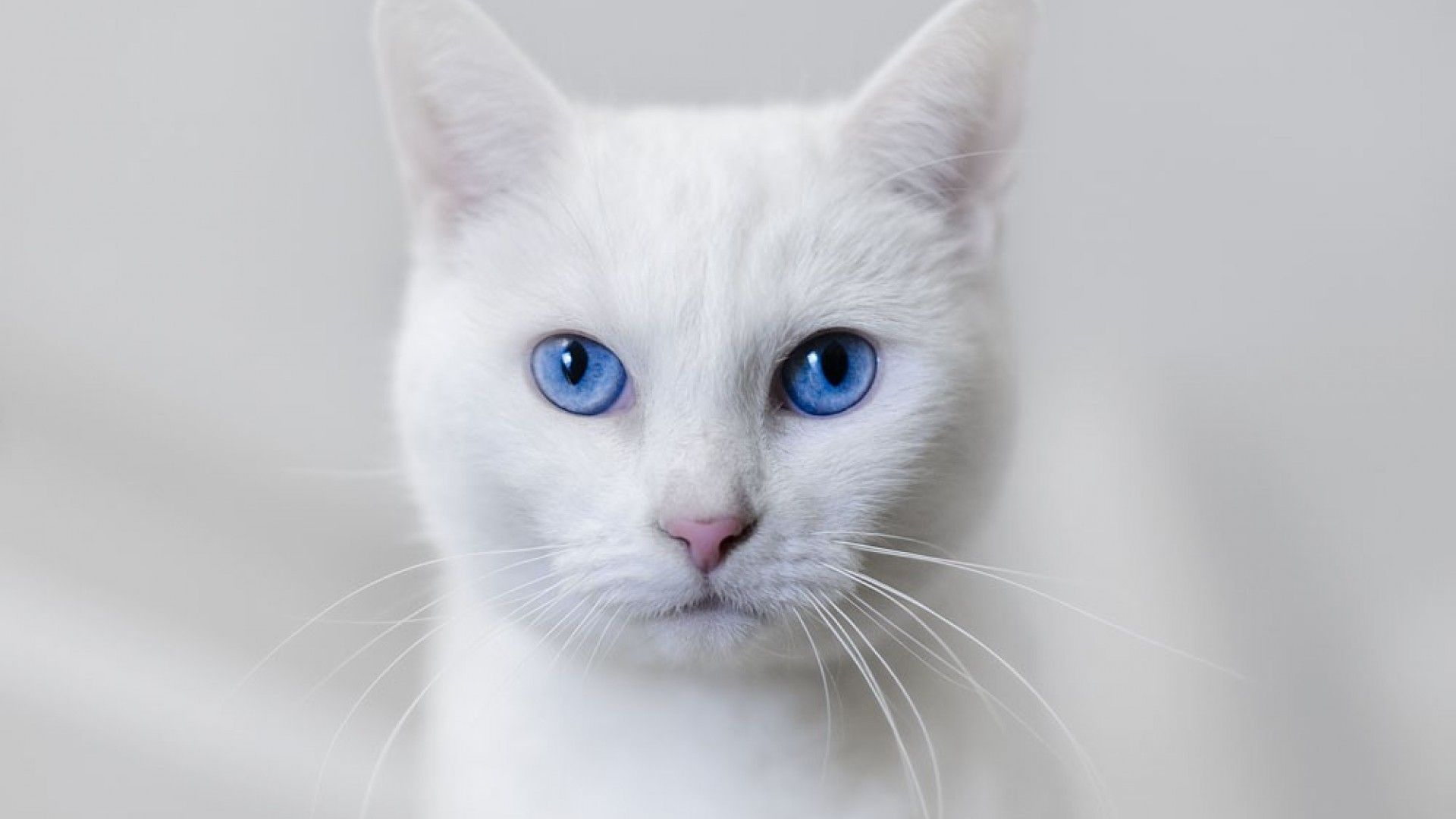 Image result for white cat with blue eyes