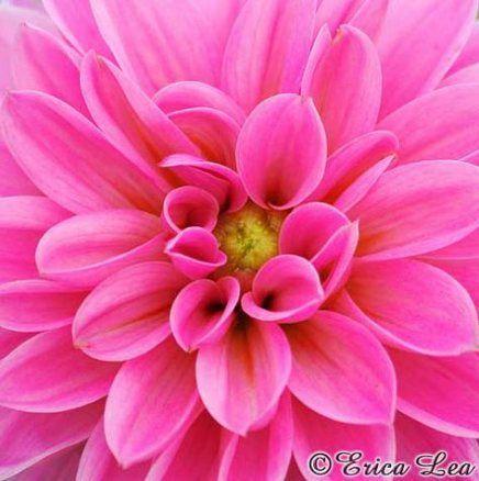 New Flowers Photography Dahlia 16 Ideas Photography Flowers With Images Pink Flowers Photography Pink Flower Pictures Flowers Photography