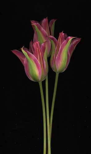 17818 Tulipa 'Greenland'