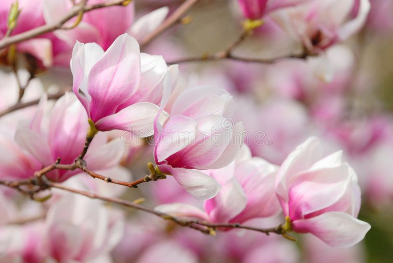Pink Magnolia Blossoms Magnolia Flowers On Tree Branch Soft Pink And White S Ad Flowers Tree Blosso White Flowering Trees Magnolia Blossom Flowers
