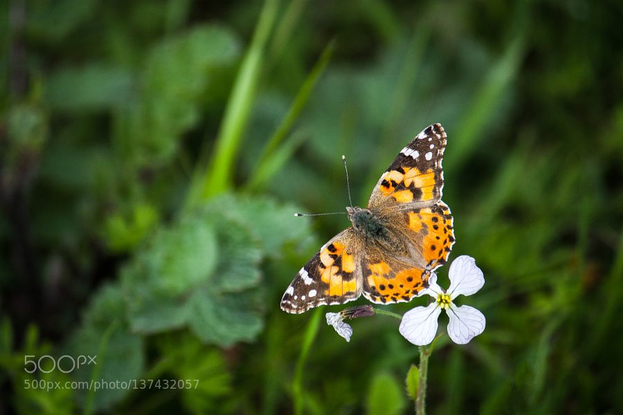 Crucifer and the Painted Lady by JJ-Photography. @go4fotos