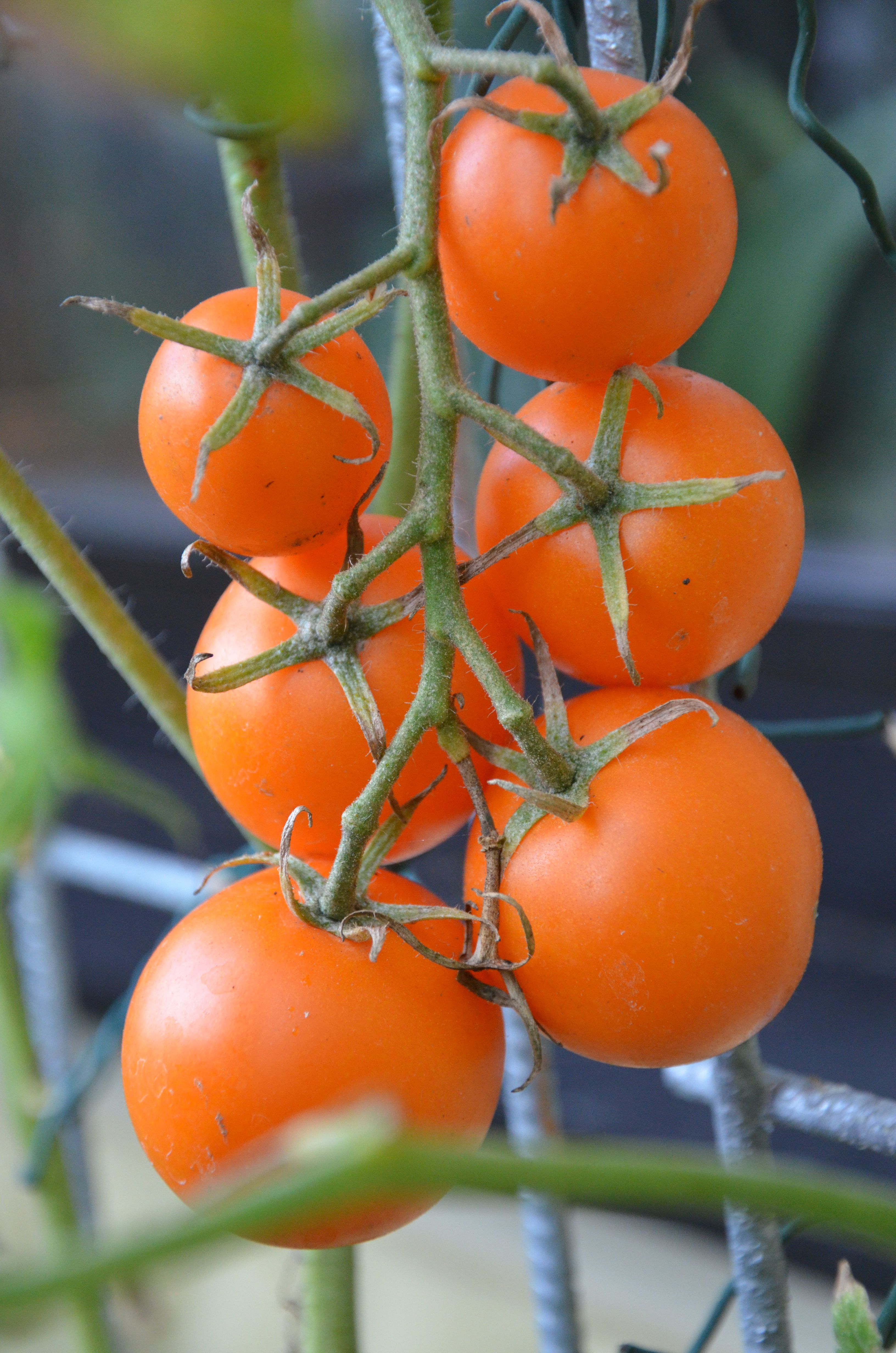 Orangene Tomatensorten Aus Dem Eigenen Garten Es Handelt Sich Um Eine Alte Sorte Meiner Grossmutter Sie Liebte Altbewahrte Und Robuste Tomate Tomato Vegetables