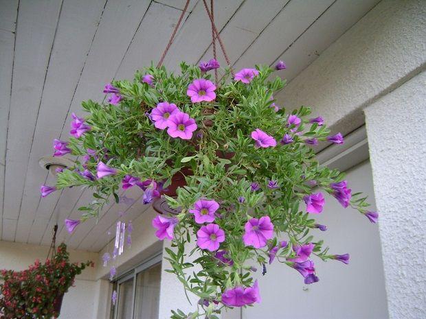 dnde colocar las plantas colgantes - Plantas Colgantes