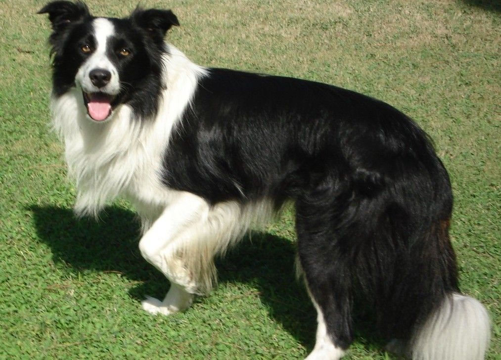 Border Collie Dog Breed Infor Facts Pictures Collie Dog