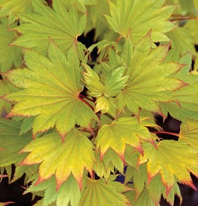 acer shirasawanum 39 aureum 39 fine gardening this is golden fullmoon maple gorgeous garden. Black Bedroom Furniture Sets. Home Design Ideas