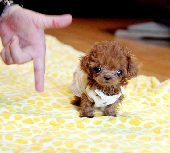 Pinterest Small Puppies Cute Teacup Puppies Tiny Puppies