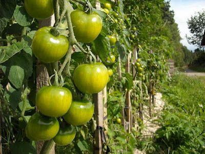 The Folia Tomato Plant Wiki!
