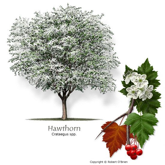 Hawthorn Small Tree Pt Hv Shade White Flowers Red Fall Color