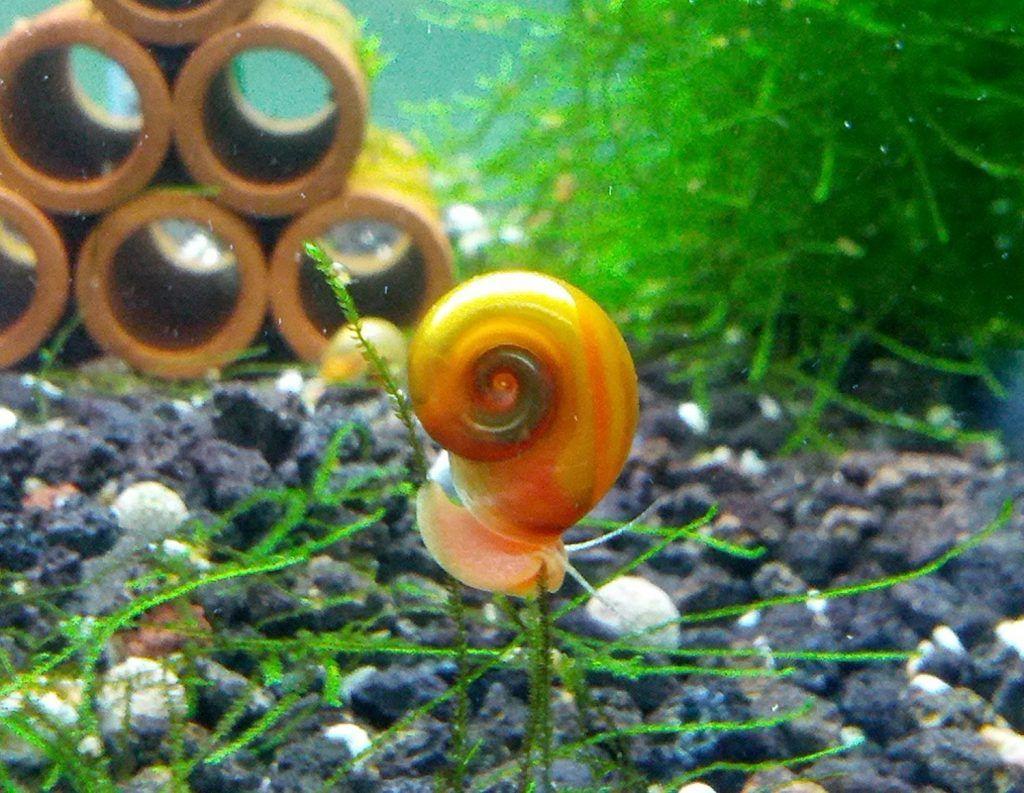 Best algae eater fish aquarium snails freshwater