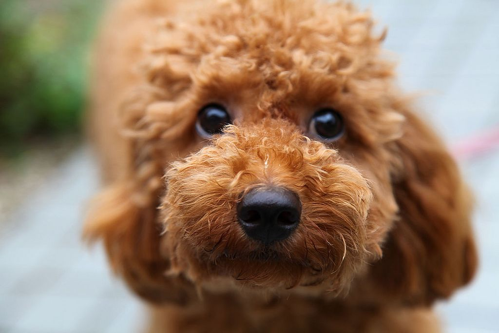 Toy Poodle --peppi??! Is that you? Those poodle eyes will get you every time