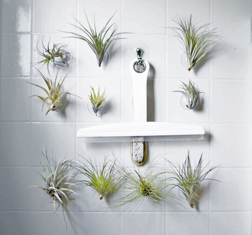 Suction cup air plants. Adorable, easy to keep alive ...
