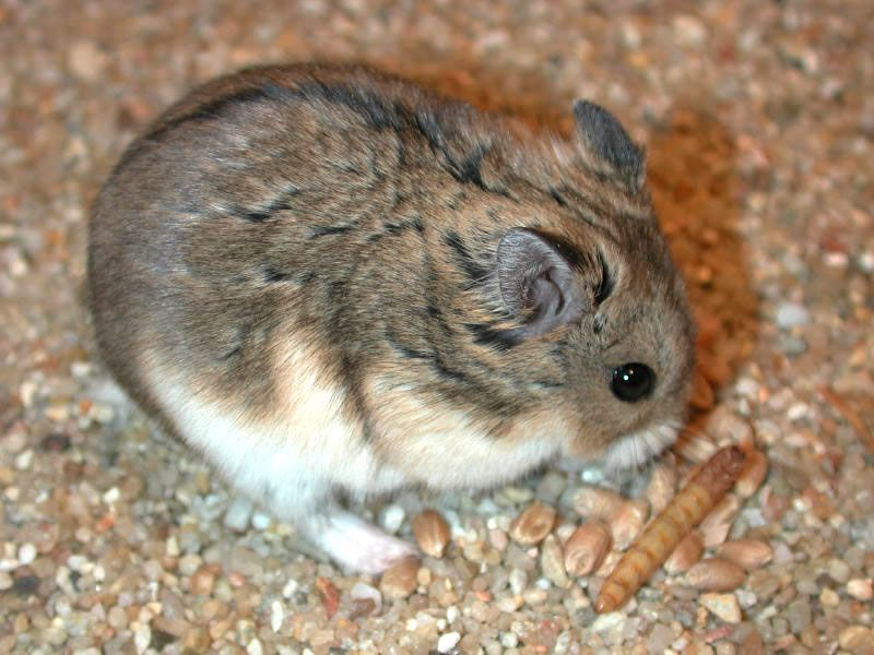 This Is The Russian Campbell S Dwarf Hamster Phodopus Campbelli