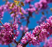 25 Samen Liebesbaum, Judasbaum (Cercis siliquastrum), tolles Blütenmeer, essbar