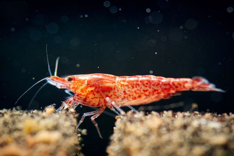 Best Fish For A 5 Gallon Tank Perfectly Suited To Small Environments Cherry Shrimp Betta Tank Mates Ghost Shrimp