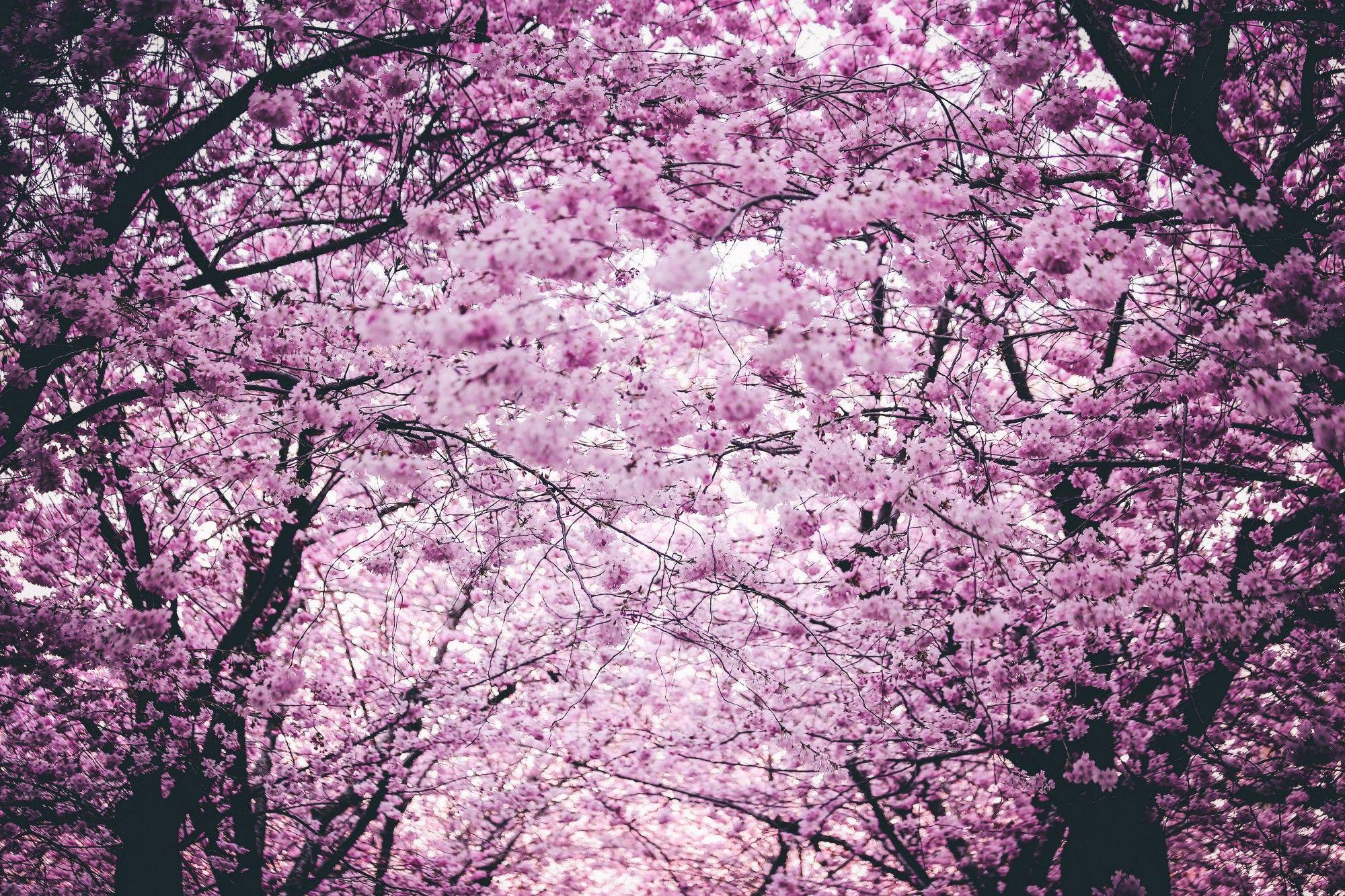 cerisier japonais cerisier japon