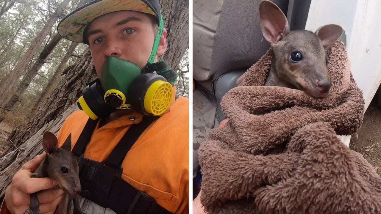 Compassionate Firefighter Rescues A Feisty Baby Kangaroo From A