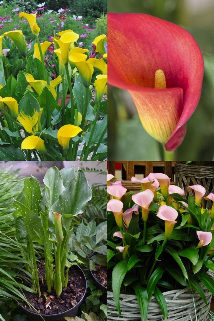 Zantedeschia Fur Den Garten In 2020 Pflanzen Sommergarten Sommerblumen