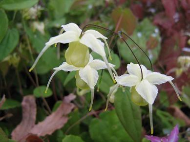 Epimedium x 'Flowers of Sulphur'