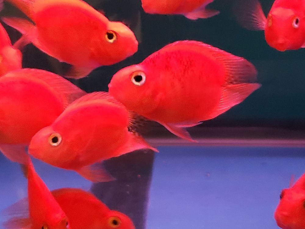 Pin On Blood Red Parrot Cichlids And Other Parrot Hybrids