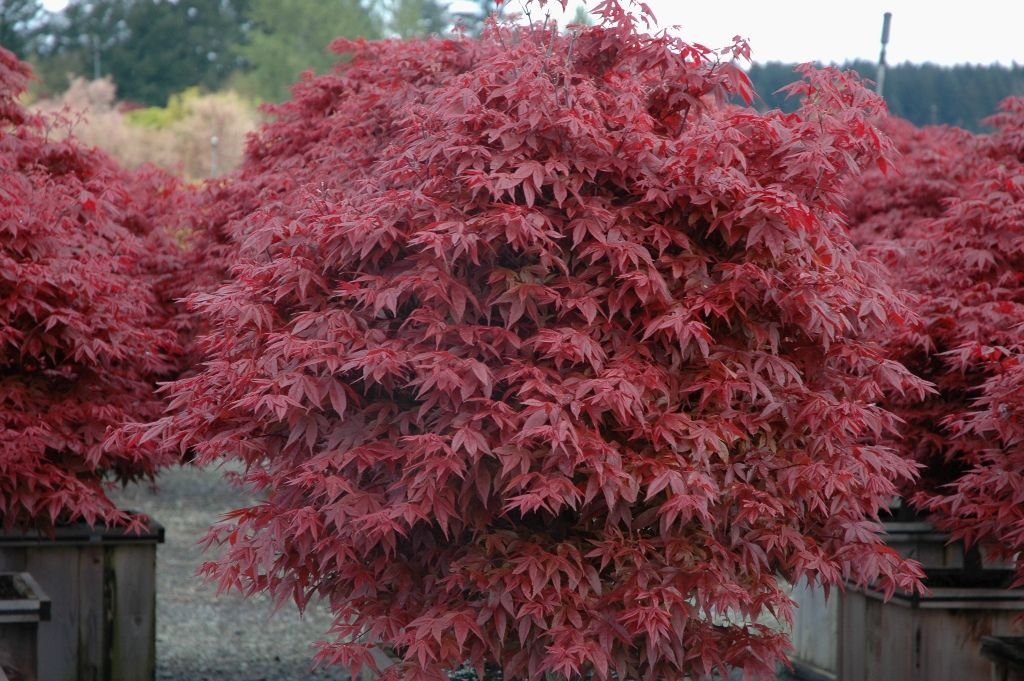 Girl japanese maple mature size corn sex
