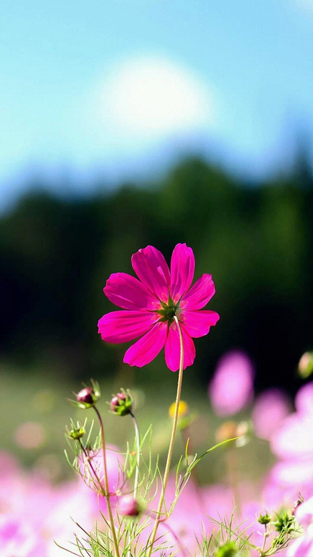 Flower Wallpapers Hd Resolution For Iphone Wallpaper On Hupages Com If You Like It Dont Forget Save It O Flower Iphone Wallpaper Cosmos Flowers Flowers Nature