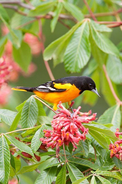 Baltimore Oriole in Red Buckeye Tree Flowers