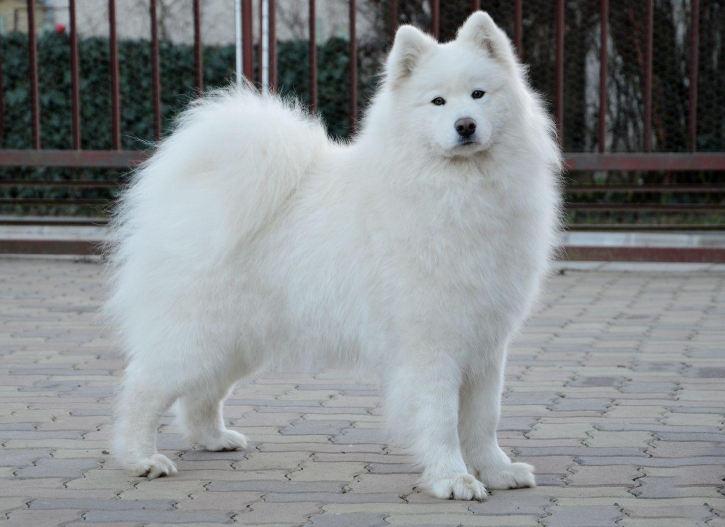 Shihtzu Pomeranian Mix Super Cute Puppy
