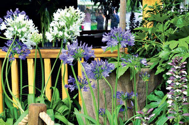 Schmucklilien u2013 Sommertraum in Blau - Blatt \ Blüte - Mein Garten