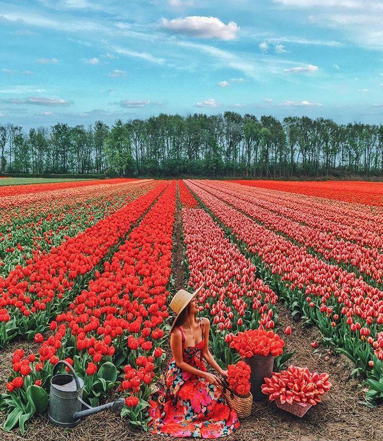 Lisse Holland Tulip Fields Flower Field Tulip Fields Tulip Fields Netherlands