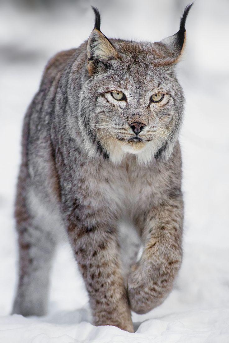 Pin by Rilla on Science / Nature Big cats, Pets cats