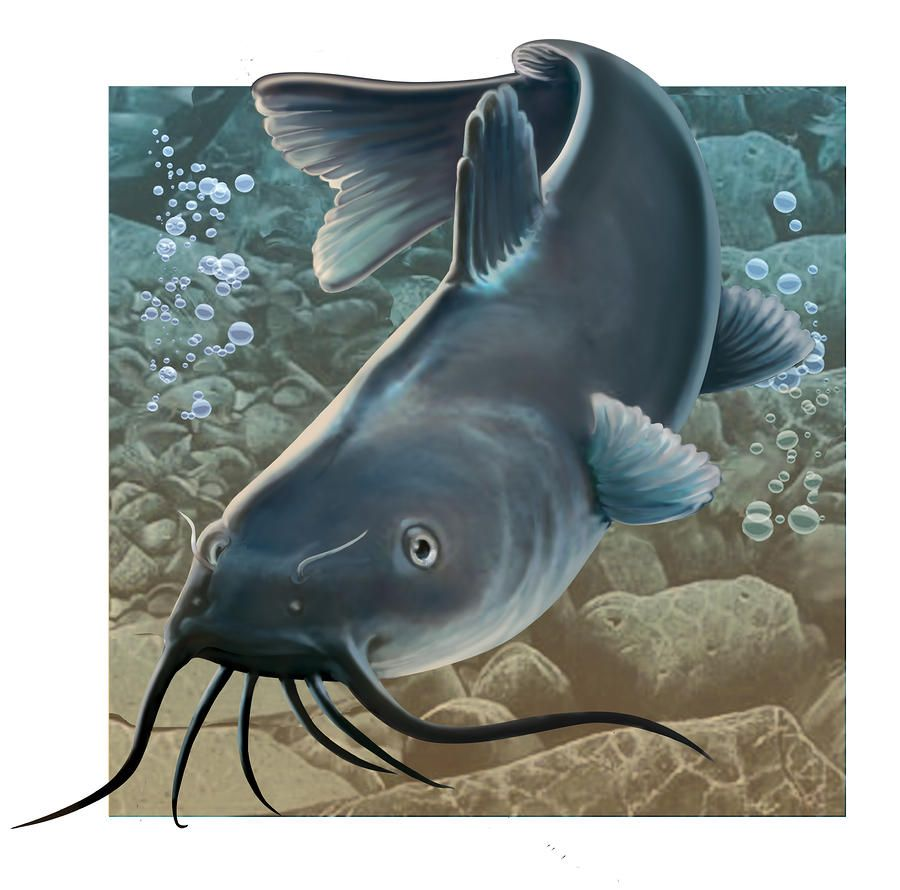 Freshwater fish art - Catfish Clipart Catfish Digital Art By Valerian Ruppert Catfish Fine Art Prints And
