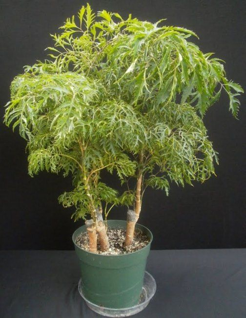 The Ming Aralia Houseplant Plants House Plant Care House Plants