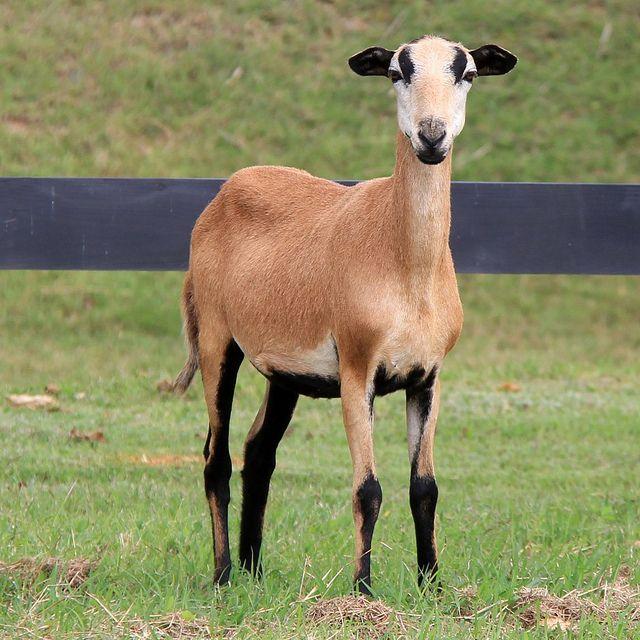Barbados Blackbelly Sheep Sheep Breeds Sheep Pig Animals Wild