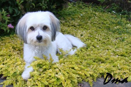 Ground cover: Lysimacha Goldii = dog friendly and favors ...