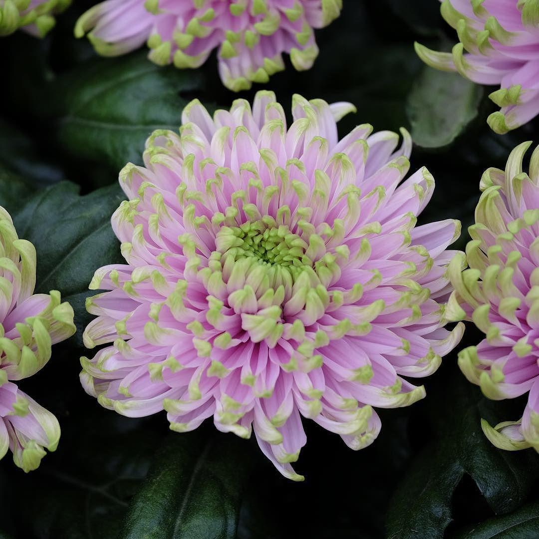 The Princess Charlotte Chrysanthemum is blooming @the_rhs #chelseaflowershow by kensingtonroyal