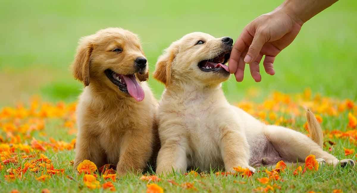 Double B Goldens Official Website Dogs Golden Retriever Golden