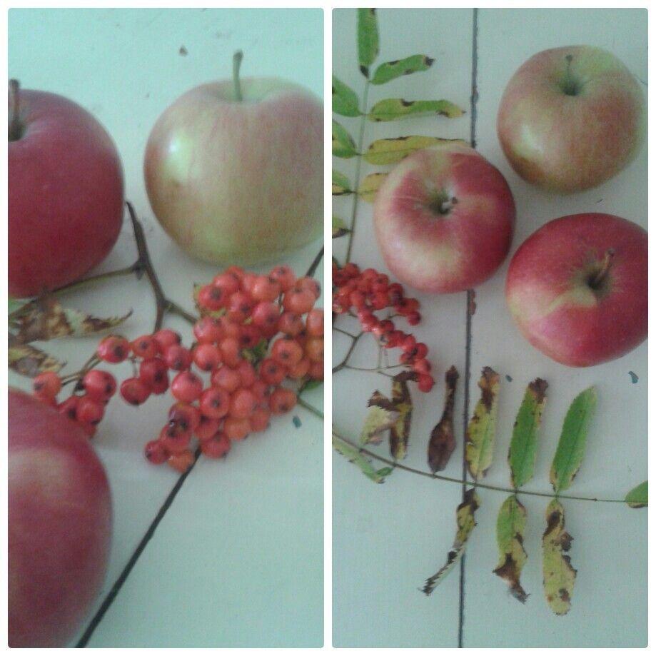 Asetelma omenat /pihlajanmarjat