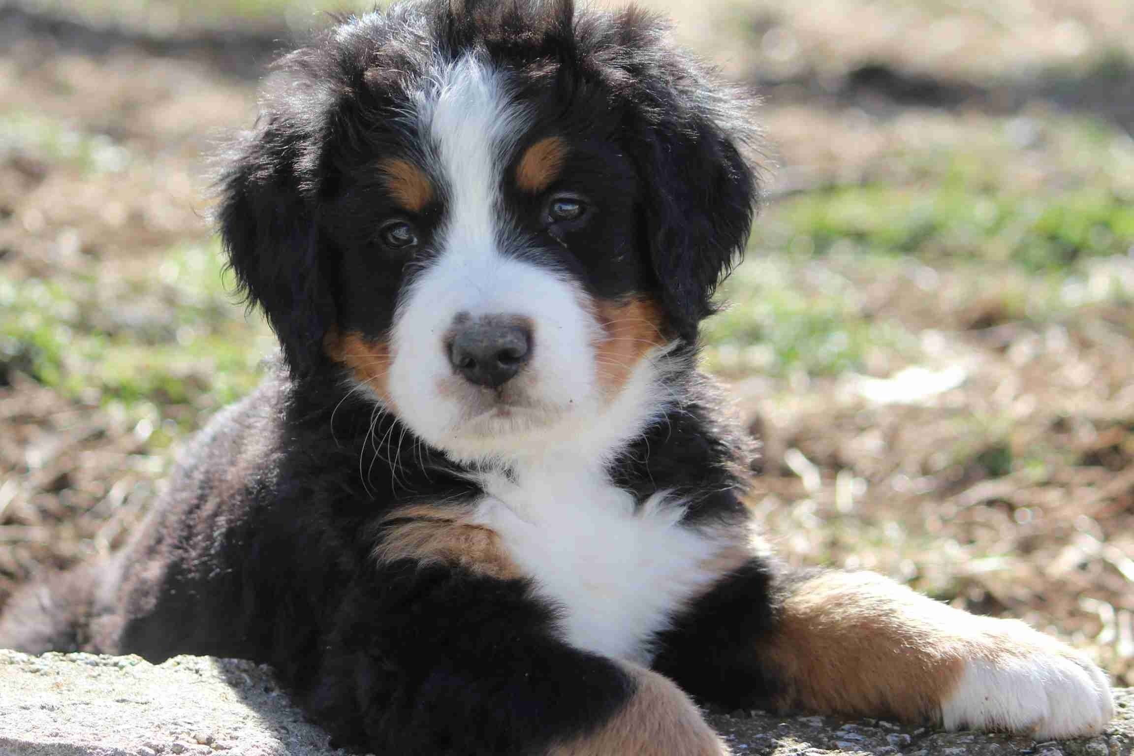 Faith Family Farm Has Puppies For Sale On Akc Puppyfinder In 2020 Bernese Mountain Dog Puppy Akc Puppies For Sale