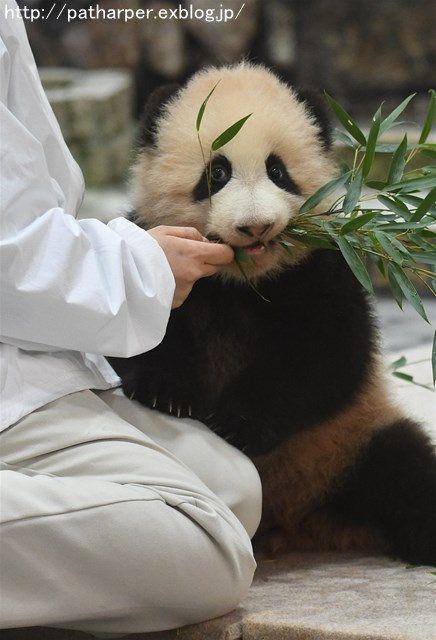 Yuihin Panda Bear Panda Animals