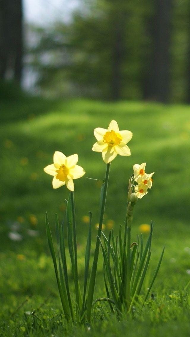 Daffodil Wallpaper Free Computer Wallpaper Wallpaper Nature Flowers Daffodil Flower Daffodils