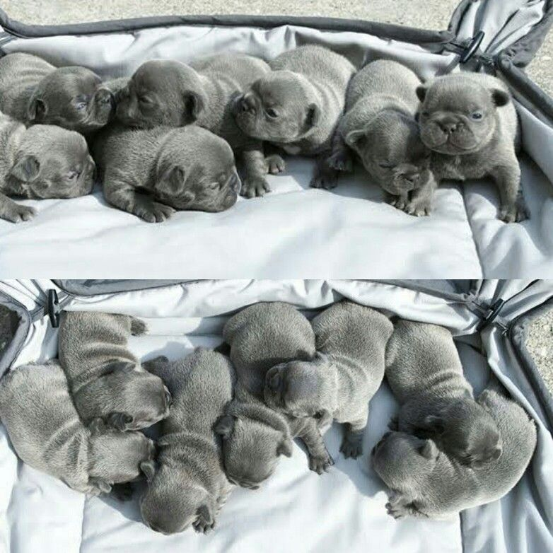 We Have 7 Newborn Puppies 5 Girls And 2 Boys All Solid Blue