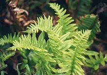 """Polypodium Californicum """"California polypody"""""""